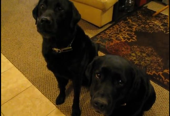 tvillinghund